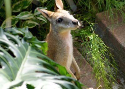 Parkwood visitor - wallaby